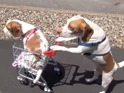 Maymo the beagle takes his sister to the park in a small cart.