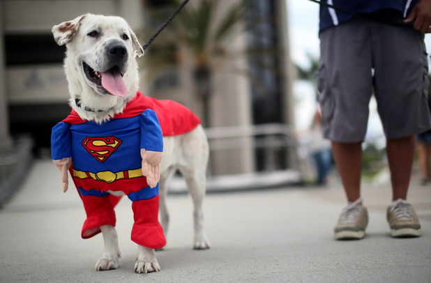 Beckham the Dog as Superman