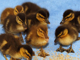 Eight ducklings that were saved by lock keeper Tony Wright after being abandoned by their mother, Atherstone, Warwickshire, Thursday November 17, 200