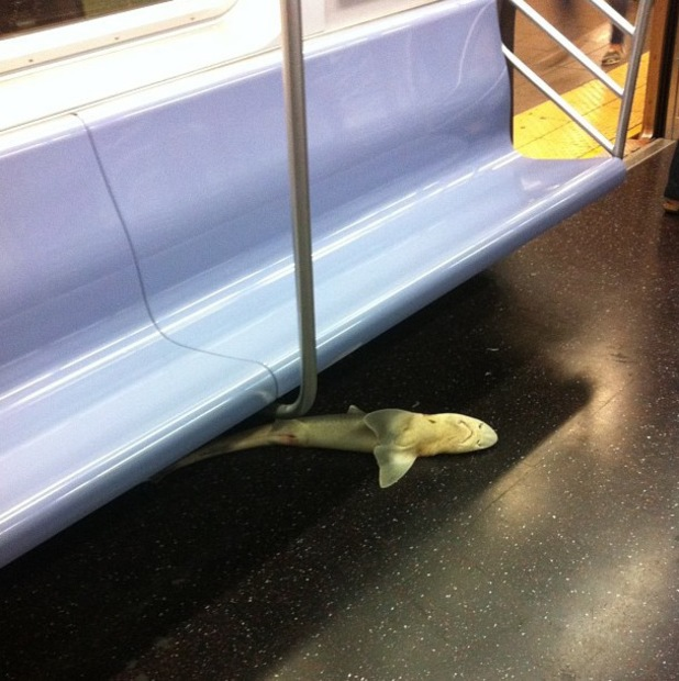 Shark, NYC subway