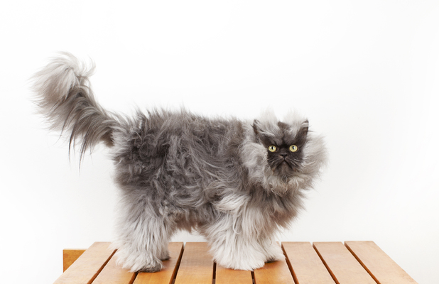 Colonel Meow - Guinness World Records winner