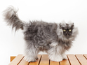 Colonel Meow is named the cat with the longest fur in the world.