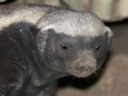 Meet the honey badger, he's not as cute as he looks - watch