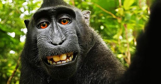David Slater's famous photo of a macaque monkey