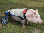 My Bionic Pet: These pictures of Chris P Bacon are too cute