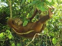 It's Thursday. But there's a show about adorable orangutans on TV tonight!
