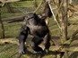 See amazing video of chimp slapping a drone