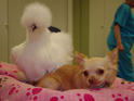Roo the two-legged chihuahua and Penny the chicken have become inseparable.