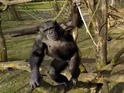 Humans aren't the only species opposed to unmanned drones - chimps don't like them either!